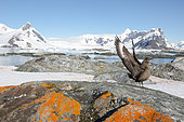Brown Skua (Catharacta antarctica) on a rock covered with orange lichen, Antarctica