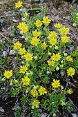 Marsh saxifrage (Saxifraga hirculus), Canadian Arctic