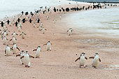 The intense back-and-forth movement of Chinstrap Penguins (Pygoscelis antarcticus) between the Southern Ocean and the Baily Head Breeding Colony colored the snow in pink due to their krill-rich excrement (Euphausia sp), Shetland South Antarctica