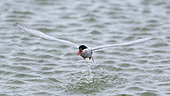 Antarctic Tern (Sterna vittata) adult fishing for Amphipods in a lagoon in South Georgia