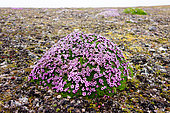 Cushion pink (Silene acaulis) mound in the Spitsbergen tundra, Svalbard