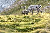 Svalbard reindeer (Rangifer tarandus platyrhynchus) grazing in the tundra, Svalbard