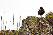 Black Oystercatcher (Haematopus bachmani) adult sitting on a rock covered with lichens, Alaska