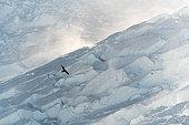 Very rare sighting of a Pomarine Skua (Stercorarius pomarinus) overwintering in Antarctica