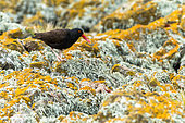 Black Oystercatcher (Haematopus bachmani) on rocks covered with lichen, Falklands