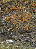 Svalbard reindeer (Rangifer tarandus platyrhynchus) walking in the tundra at the foot of a cliff covered with orange lichen with a Glaucous Gull (Larus hyperboreus) in flight, Spitsbergen