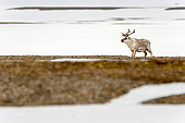 Svalbard reindeer (Rangifer tarandus platyrhynchus) in the snowy Arctic tundra, Spitsbergen