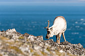 Svalbard reindeer (Rangifer tarandus platyrhynchus) adult female grazing near the Spitsbergen coast