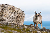 Svalbard reindeer (Rangifer tarandus platyrhynchus) adult female near a rock on the Spitsbergen coast
