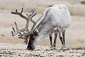Svalbard reindeer (Rangifer tarandus platyrhynchus) adult male grazing European Bistort (Polygonum bistorta) in a polar desert in North-East Svalbard