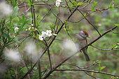 Blackcap (Sylvia atricapilla) on a branch, Illfurth, Haut-Rhin, Alsace, France