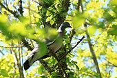 Wood Pigeon (Columba palumbus) on a branch, Ploemeur, Morbihan, Brittany, France