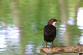 White-throated Dipper (Cinclus cinclus) on a branch, Illfurth, Haut-Rhin, Alsace, France