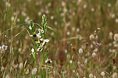 Ophrys bee variant hyprochrome (Ophrys apifera), Guidel, Morbihan, Brittany, France