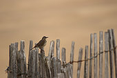 Meadow pipit (Anthus pratensis) on a lattice fence, Ploemeur, Morbihan, Brittany, France