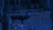 Red Deer (Deer Elaphus), male and female during slaughter at night, France