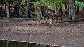 Red Deer (Deer Elaphus), male and female during slaughter, France