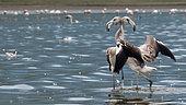 Flamingos (Phoenicopterus roseus) juveniles fighting, Lake Kerkini, Greece