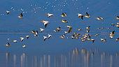 White Pelican (Pelecanus onocrotalus) group in flight, Lake Kerkini, Greece