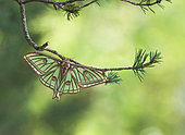 Spanish moon moth (Graellsia isabellae) on a branch of Pine (Pinus sp), Hautes-Alpes, France