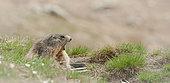 Alpine Marmot (Marmota marmota) yawning, Hautes-Alpes, France
