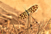 Spoonwing (Nemoptera bipennis), Doñana, Andalucia, Spain