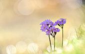 Primevère farineuse (Primula farinosa) en fleurs, Pyrénées, France