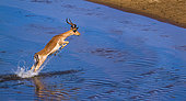 Common Impala (Aepyceros melampus) jumping, Kruger National park, South Africa