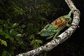 Chameleon (Calumma parsonii cristifer) in the rainforests of Andasibe, East Madagascar, Madagascar, Africa
