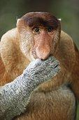 Proboscis monkey (Nasalis larvatus), animal portrait, Bako National Park, Sarawak, Borneo, Malaysia, Asia
