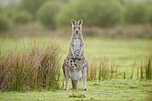 Eastern Gray Kangaroo (Macropus giganteus), mother animal with her young animal on a meadow, Wilson's Promontory National Park, Victoria, Australia, Oceania
