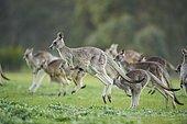Eastern grey kangaroos (Macropus giganteus) jumping on a meadow, Victoria, Australia, Oceania