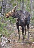 Moose (Alces americanus) in Matane wilidfe reserve, Québec, Canada