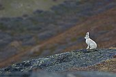 Arctic hare (Lepus arcticus) in the middle of the tundra, Greenland