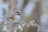Boreal Chickadee (Poecile hudsonicus) in the Montmorency Forest, Québec, Canada