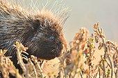 The diner of the porcupine (Erethizon dorsatum) in the Forillon National Park, Quebec, Canada