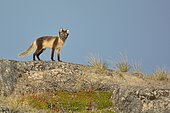 Arctic fox (Vulpes lagopus) on top of his mountain, Greenland