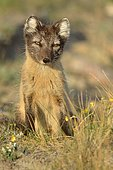 Arctic fox (Vulpes lagopus) close-up, Greenland