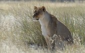 Lioness (Panthera leo) sitting in the tall grass, alert, Etosha National Park, Namibia, Africa