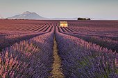 Blooming lavender (Lavandula angustifolia) with stone cottage, Valensole Plateau, Alpes-de-Haute-Provence, Provence-Alpes-Côte d'Azur, France, Europe