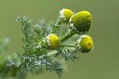 Common matricary (Matricaria discoidea), Eng Alm, Tyrol, Austria, Europe