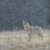 Gray wolf (Canis lupus), securing in a meadow in snowfall, National Park Little Fatra, Slovakia, Europe