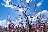 Pêcher (Prunus persica) en fleurs, Fruiturisme, Expérience touristique, Village d'Aitona, Baix Segre, Lleida, Catalogne, Espagne, Europe