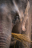 Asian Elephant (Elephas maximus) eating, Chitwan National Park, Nepal, Asia, Unesco World Heritage Site