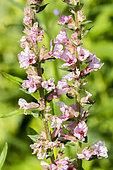 Lythrum salicaria 'Rosy Gem'