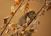 Northern birch mouse (Sicista betulina) the mouse is trying to stay on a dry branch. Original country: middle Russia
