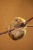Northern birch mouse (Sicista betulina) is trying to stay on a dry branch. Original country: middle Russia