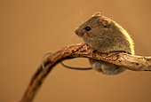 Northern birch mouse (Sicista betulina) sitting on a dry branch and held it by the tail. Original country: middle Russia