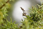 Empusa mantis (Empusa pennicornis) lies in ambush among a juniper brunch and waits for its prey. Russia Federation, Krasnodar region, the vicinity of the city of Novorossiysk