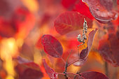 Empusa mantis (Empusa pennicornis) lies in ambush among a red leaves of smoketree (Cotinus) and waits for its prey. Russia Federation, Krasnodar region, the vicinity of the city of Novorossiysk